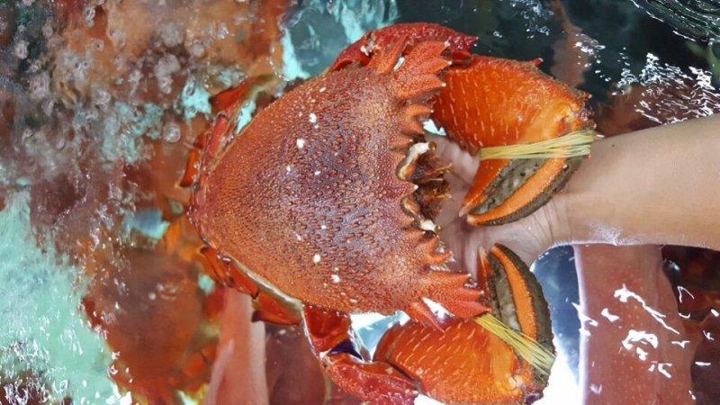 Cua-Huỳnh-đế-thường-sống-ở-xa-bờ-vùng-biển-sạch-nước-sâu.